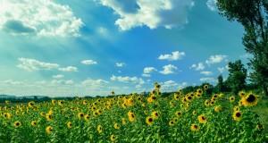 sunflower-field
